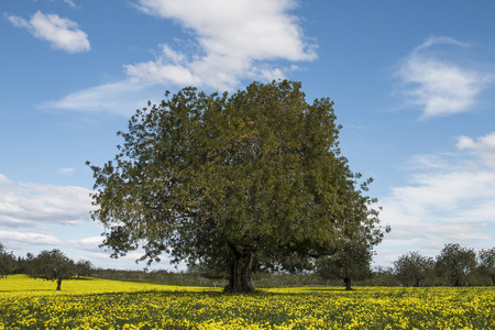 View of an carob tree orchard in a field of yellow flowers in the countryside of Portugal.