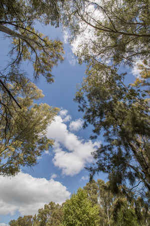 eucalyptus trees: View of eucalyptus trees against a blue sky with white clouds. Stock Photo