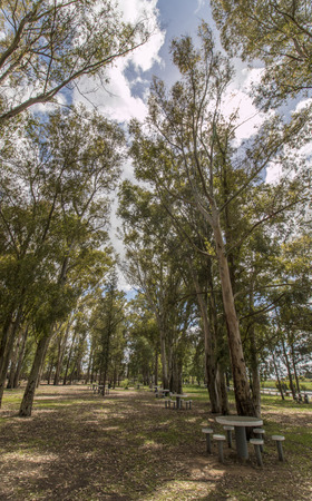 eucalyptus trees: View of a park with eucalyptus trees against a blue sky with white clouds.