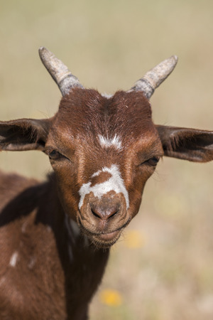 brown goat: Close up view of the head of brown goat in the countryside. Stock Photo