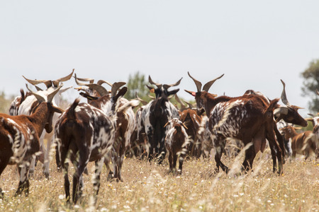 portugal agriculture: View of a herd of goats in a pasture in the countryside. Stock Photo
