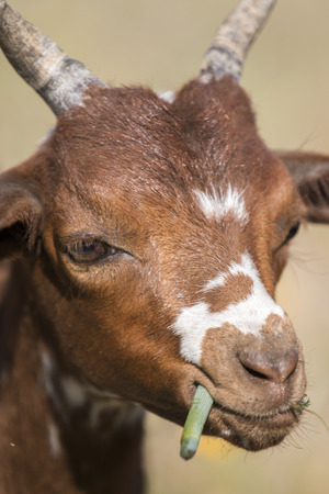 brown goat: View of a brown goat in a pasture in the countryside. Stock Photo