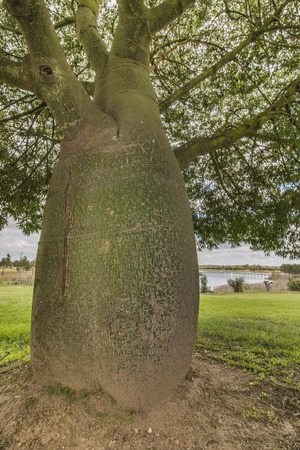 adansonia: View of trees with large trunks on a garden. Stock Photo