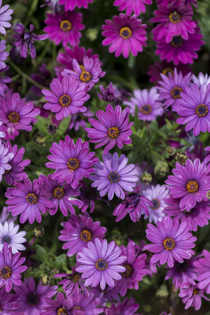 african daisy: Close up view of a bed of beautiful purple African daisy flowers in the garden. Stock Photo