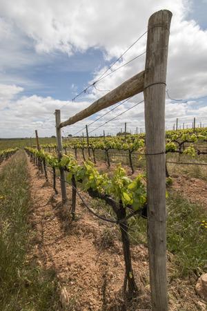 viñedo: Vista del paisaje de un viñedo ubicado en la región de Alentejo, Portugal.