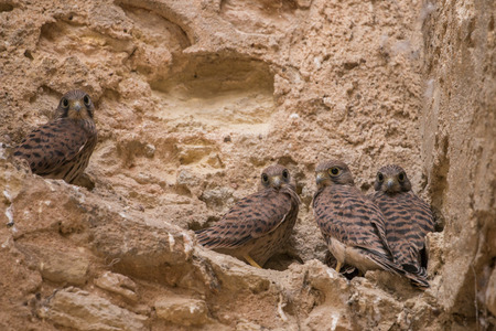 peregrine falcon: Close view of a bunch of wild peregrine falcon chicks on an abandoned building.