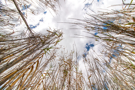 low perspective: Low perspective view towards the sky of dry bamboo plants. Stock Photo