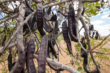 carob: Close up view of a bunch of carob fruits hanging from the tree.