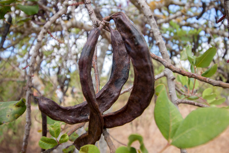 Close up view of a bunch of carob fruits hanging from the tree.