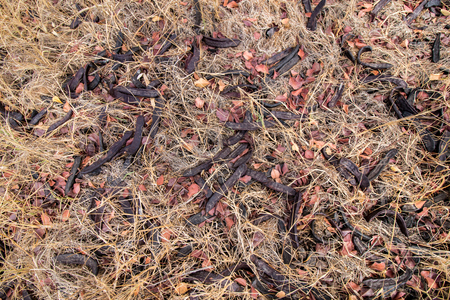 carob: Close up view of a bunch of carob fruits on the ground. Stock Photo