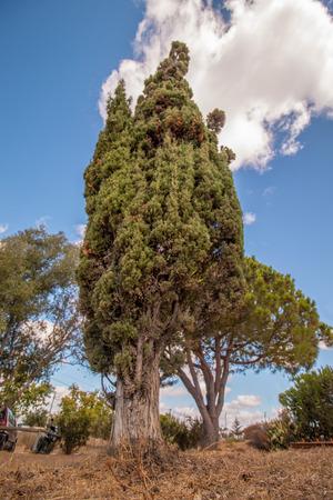 Upward view of a tall Mediterranean Cypress tree.