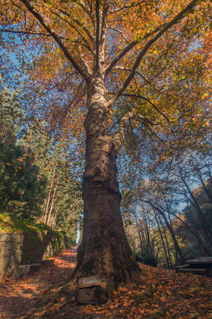 tall tree: Beautiful autumn forest with tall tree in Monchique region, Portugal
