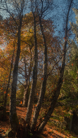 monchique: Beautiful autumn forest with tall trees in Monchique region, Portugal Stock Photo