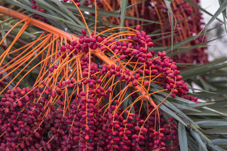 date palm tree: Close up view of a bunch a date palm tree fruits. Stock Photo