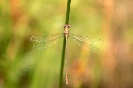 damselfly: Cute damselfly (Lestes sponsa) on nature.