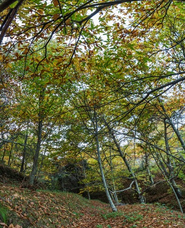 monchique: Beautiful autumn chestnut forest with tall trees in Monchique region.