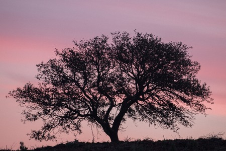 intricacy: View of a lonely carob tree silhouette on the rural sunset.