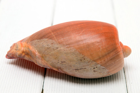 cone shell: Close view of a Cymbiola seashell isolated on a white wooden background.