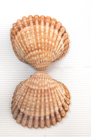 two clam shells isolated on a white wooden background.