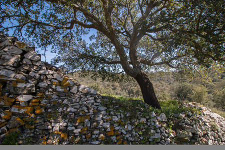 quercus: Quercus Ilex tree and old wall in the countryside.