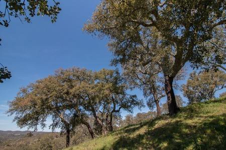 quercus: Quercus Ilex tree forest located in Algarve, Portugal.