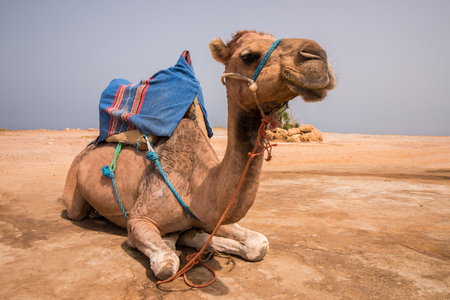 Dromedary camel relaxing in the dirt, Morocco, Africa.