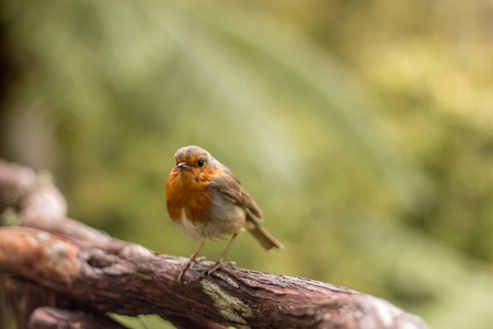 erithacus rubecula: Close up view of the European Robin (Erithacus rubecula).
