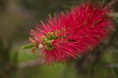 View of the beautiful red Callistemon flower. Stock Photo