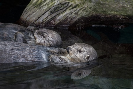 sea otter: View of a pair of funny sea otters (Enhydra lutris) swimming on a pond.