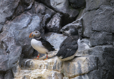 arctica: Atlantic puffin (Fratercula arctica) birds on the rocks on a indoor zoo.