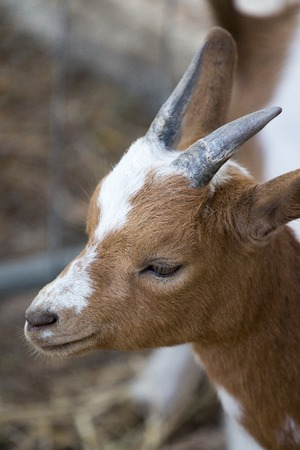 pygmy goat: Close view of the beautiful pygmy goat. Stock Photo