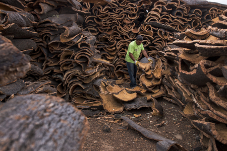 separates: SAO BRAS DE ALPORTEL, PORTUGAL: 21st OCT, 2016 - Worker separates raw cork planks on a cork factory. Editorial