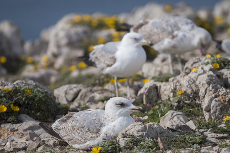 many babies: Close up view of young seagulls near the windy cliffs of Sagres region, Portugal. Stock Photo
