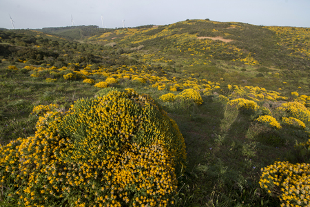 Typical and beautiful landscape with ulex densus shrubs on the Sagres, Portugal region.