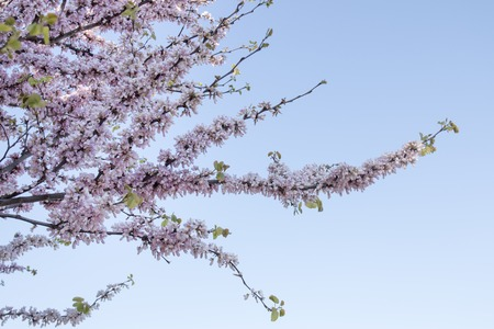 Close view of the beautiful Cercis canadensis (eastern redbud) tree. Stock Photo