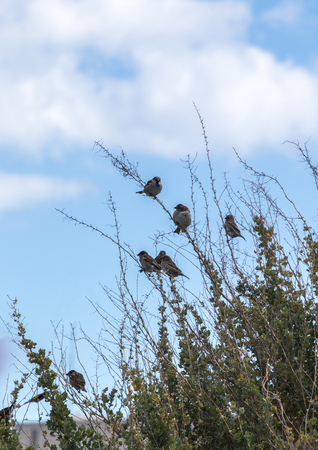 View of many common house sparrow birds on a shrub.