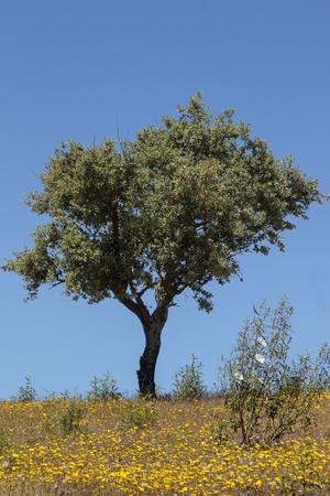 View of quercus ilex tree landscape in Alentejo.
