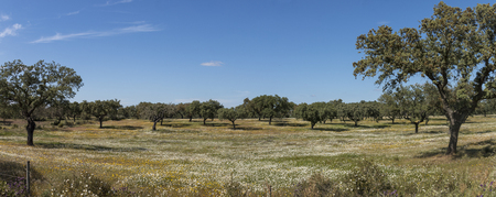 Typical view of Spring landscape in Alentejo with white daisies and holm oak trees. Imagens
