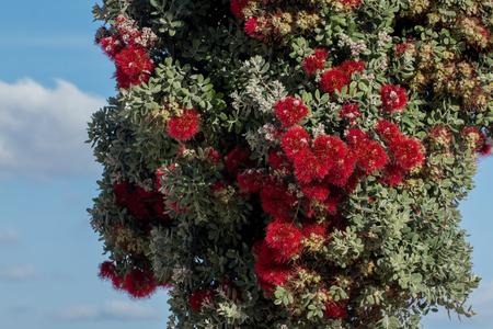 callistemon citrinus: Close view of a beautiful Callistemon tree over a blue sky. Stock Photo