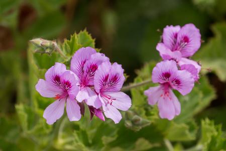 핑크 제라늄 꽃 (Pelargonium graveolens)의보기를 닫습니다.