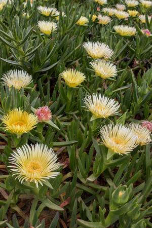 Yellow ice plant (Carpobrotus edulis) growing on the beaches. Banque d'images