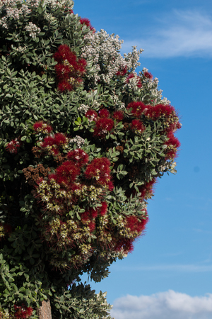 Close view of a beautiful Callistemon tree over a blue sky. Stock Photo