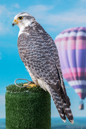 Close up view of the beautiful  peregrine falcon bird of prey.