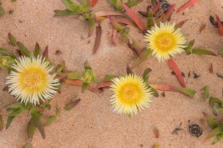 Yellow ice plant (Carpobrotus edulis) growing on the beaches. Stock Photo