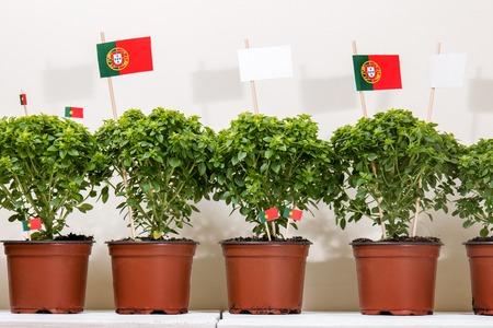 バジル ホワイト木製の背景とポルトガル語フラグ最小植物。