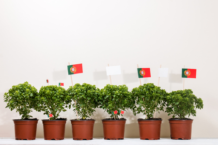 Ocimum minimum plants over a white wooden background and a portuguese flags.