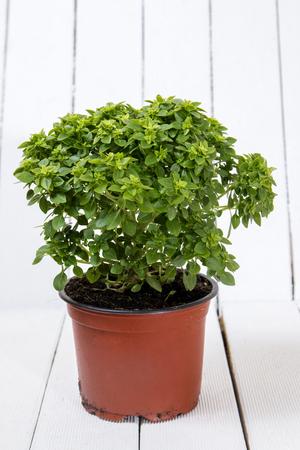 Ocimum minimum plant over a white wooden background. Stock Photo