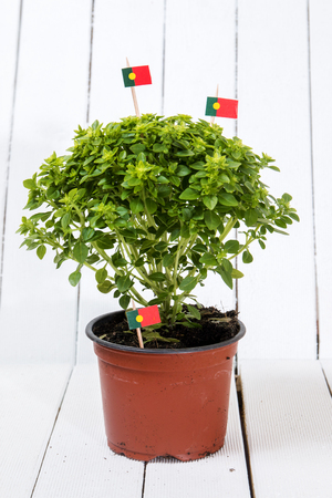 Ocimum minimum plant over a white wooden background and a portuguese flag.