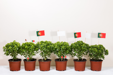 st  joseph: Ocimum minimum plants over a white wooden background and a portuguese flags.