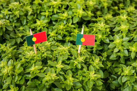 Ocimum minimum plant over a white wooden background and a portuguese flags. Stock Photo